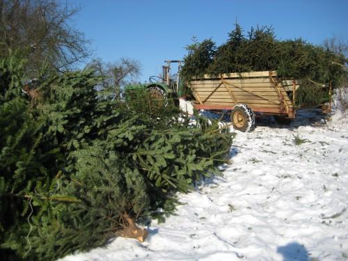 2009 Weihnachtsbäume 07